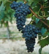 Albarossa is a genetic link between Nebbiolo and Barbera